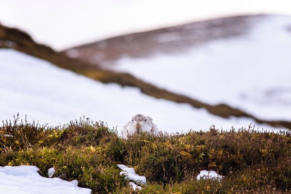 Mountain Hare (Lepus Timidus) January 2020