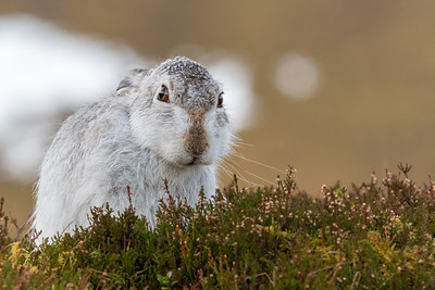 Mountain hare on winter's day