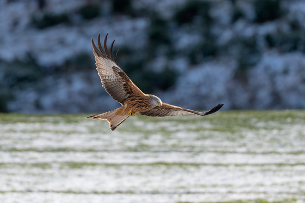 Red Kite on Snowy Day