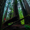 Giants of the Redwoods