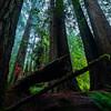 Giants of the Redwoods