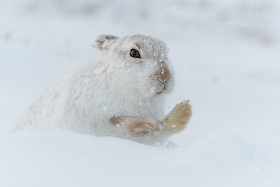 Mountain hare digging in snow