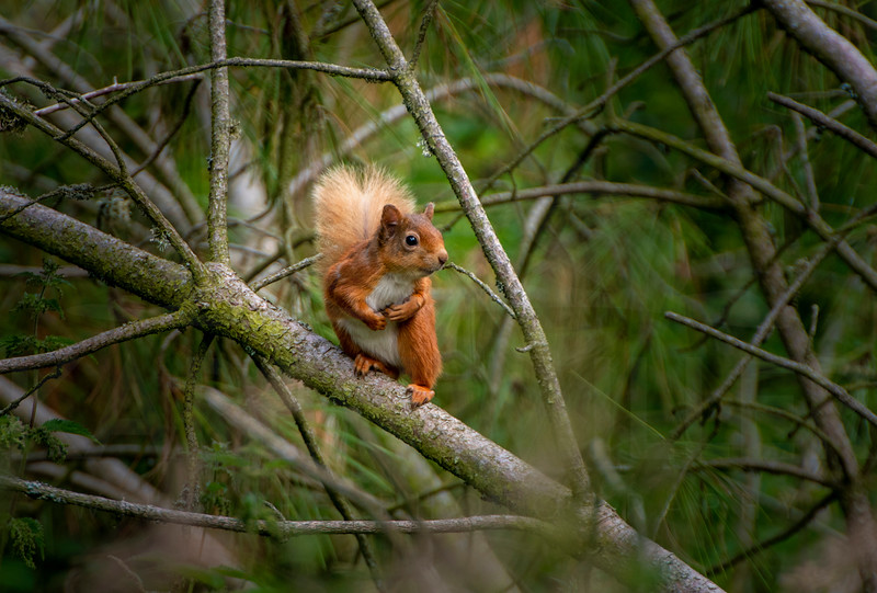 Red squirrel, Morton Lochs, July 2019