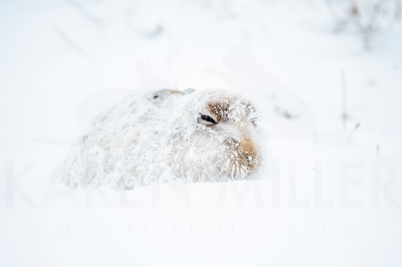 Mountain Hare (Lepus timidus) in the snow in the Scottish Highlands