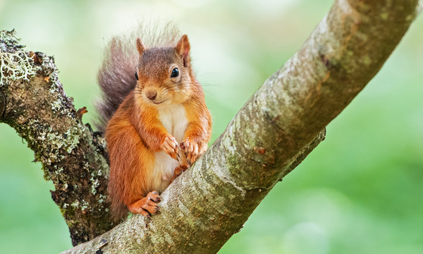 Local Red Squirrel, autumn 2020