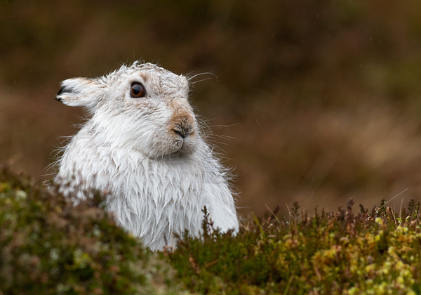 Wet mountain hare