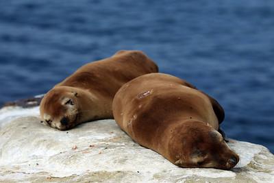 Sea Lion Dreams