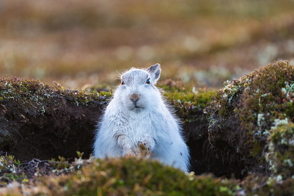 Mountain Hare, December 2020