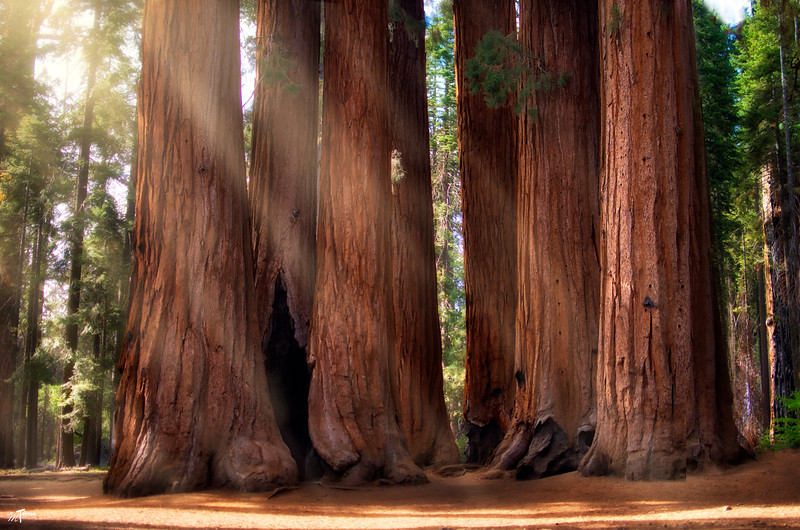 The Trees of Sequoia