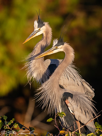 Courting Great Blue Herons