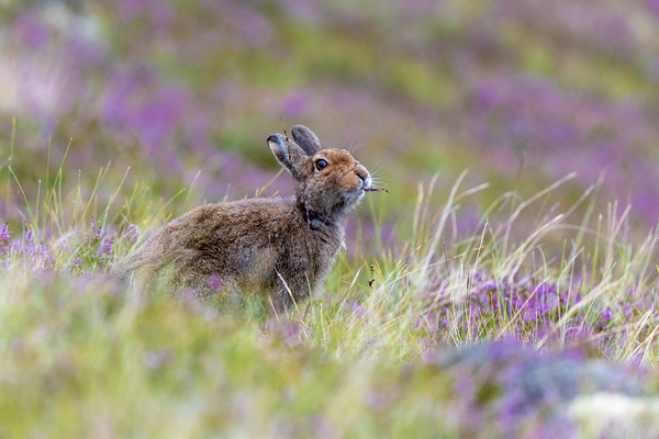 Mountain Hare in Heather