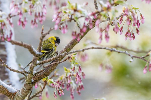 Spring Blossom Snow
