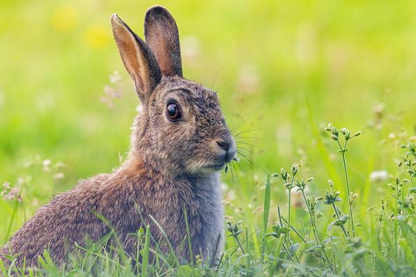 Garden Rabbit