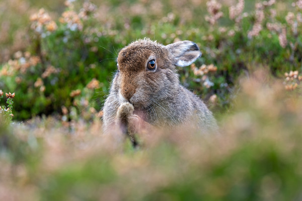 Mountain Hare Leveret, October 2020