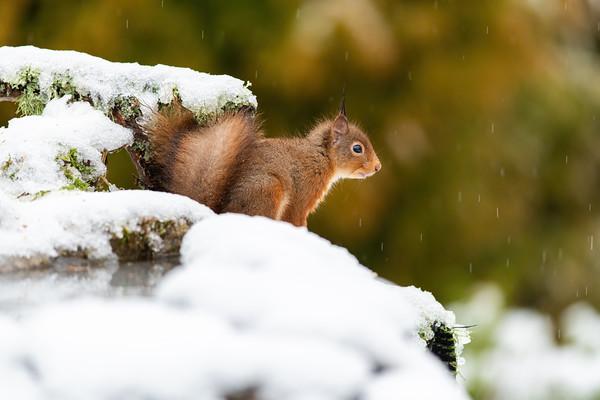 Dizzy The Red Squirrel Kitten