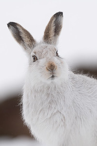 Portrait of a Hare