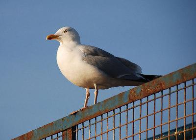 Herring Gull, North Berwick