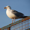 Herring Gull, North Berwick