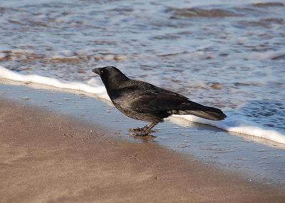 Crow, North Berwick