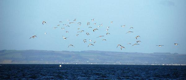 Winter waders in flight, North Berwick