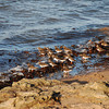 Turnstones in winter plumage