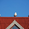 Gulls on roof at North Berwick