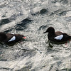 Black guillemots, Oban harbour