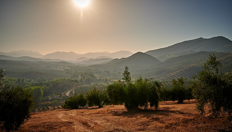 The olive groves of Andalucia in the early morning sun.
