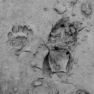 Bear and elk tracks