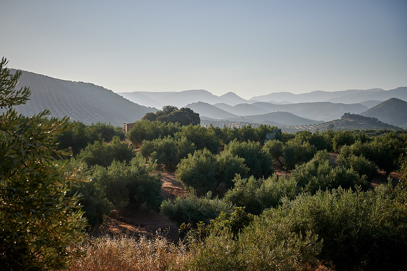 The Andalucian olive groves in the early morning light.