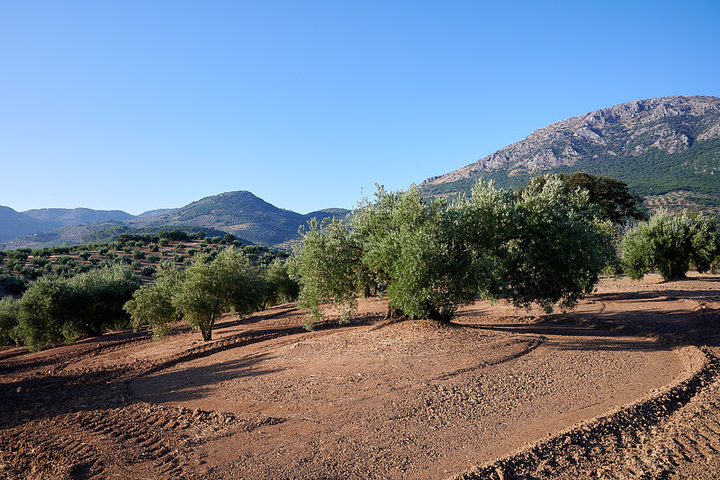Getting ready for the olive harvest. Not a weed in sight - a recently scarified olive grove.