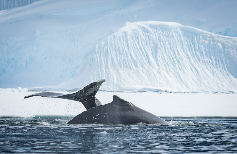 Humpback Whales Cavorting