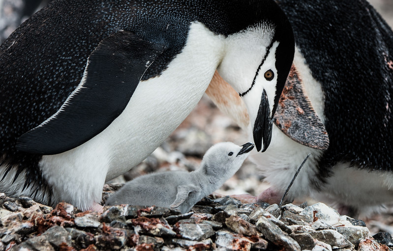 Chinstrap Penguin with Chick