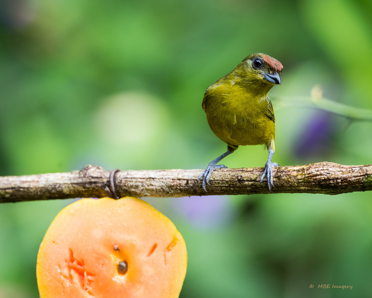 Female Olive-backed Euphonia