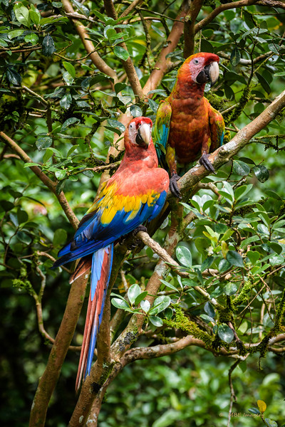 Scarlet and Hybrid Macaw