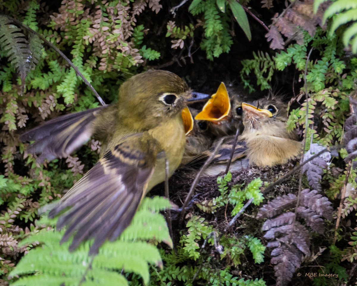 Yellowish Flycatcher with Chicks