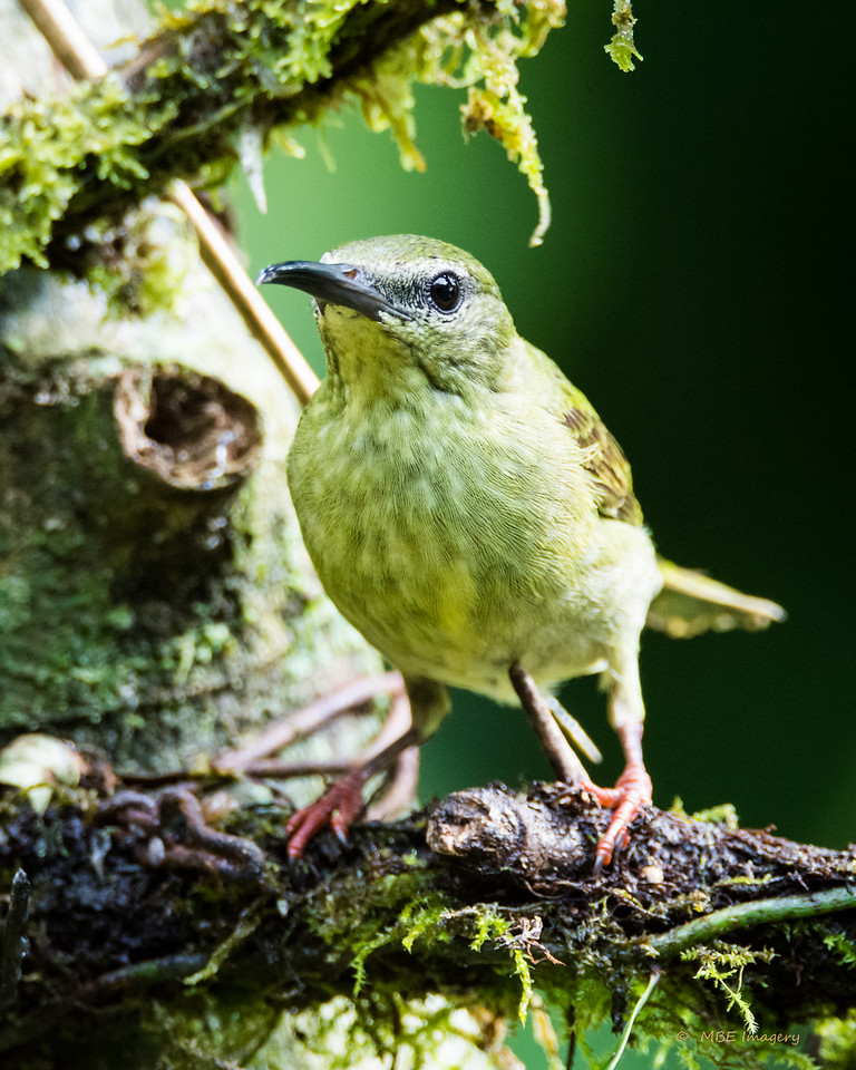 Female Red-legged Honeycreeper