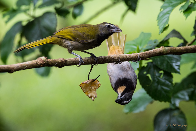 Buff-throated Saltators