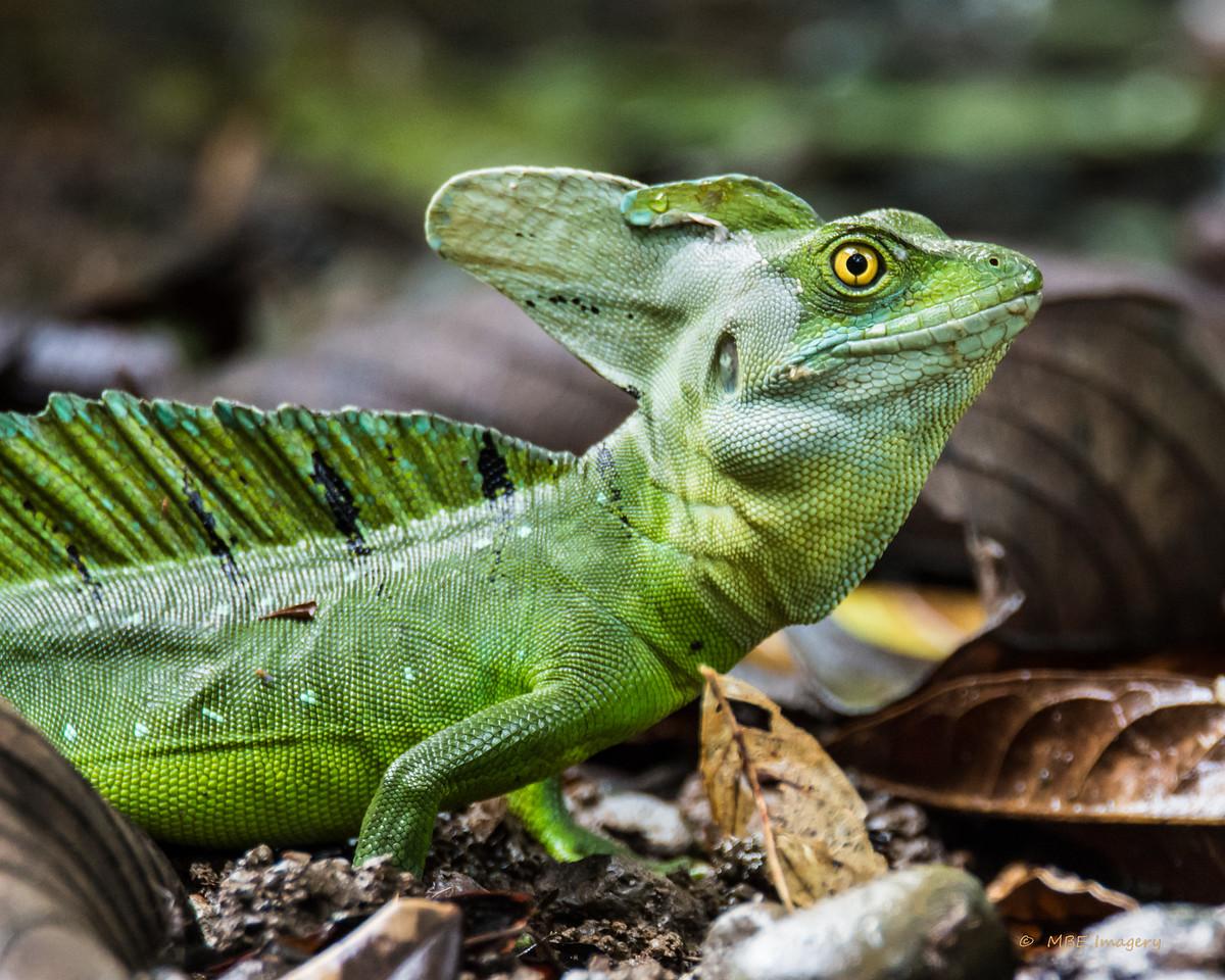 Emerald Basilisk Lizard