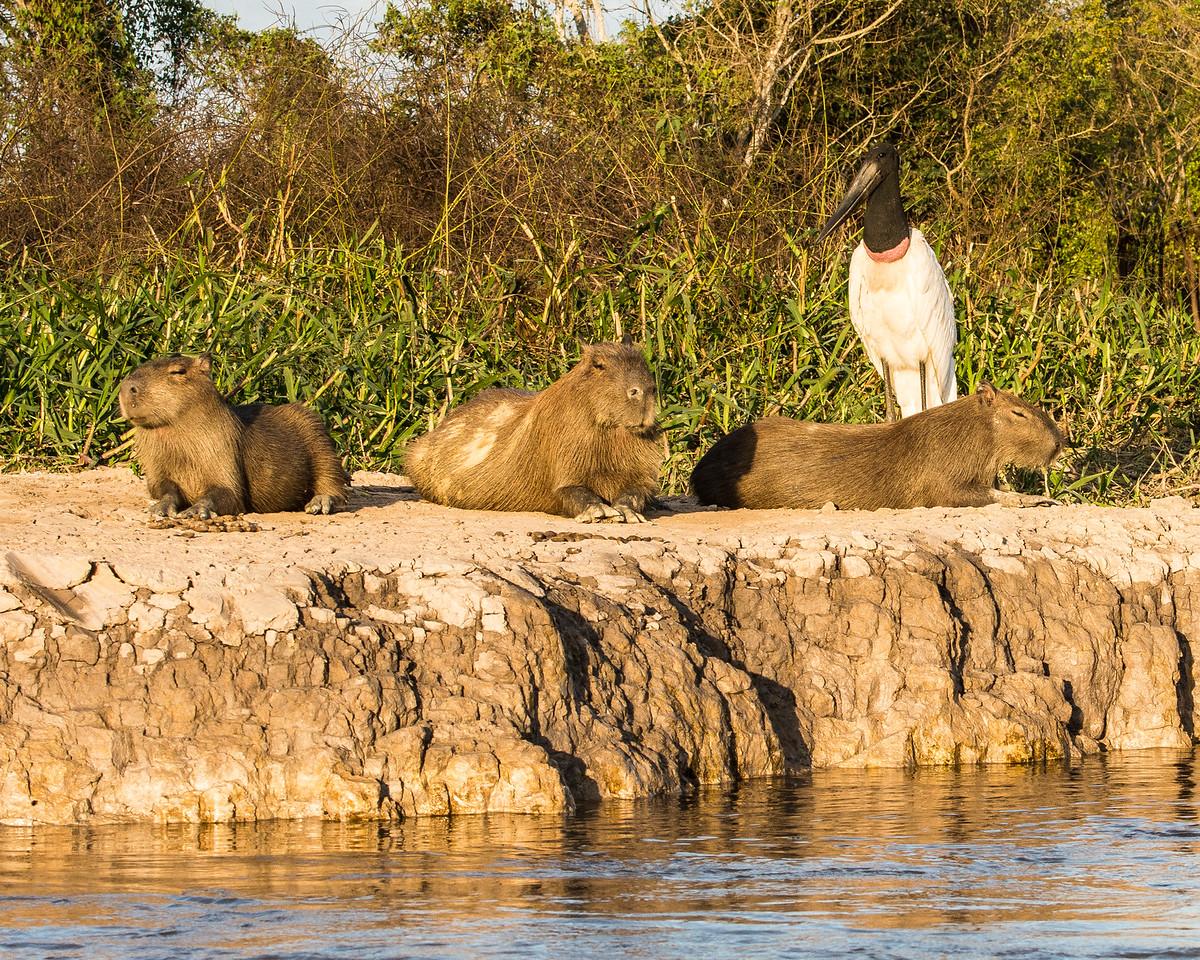 Jabiru with Capybara