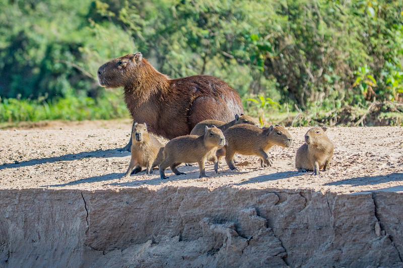 Capybara Brood