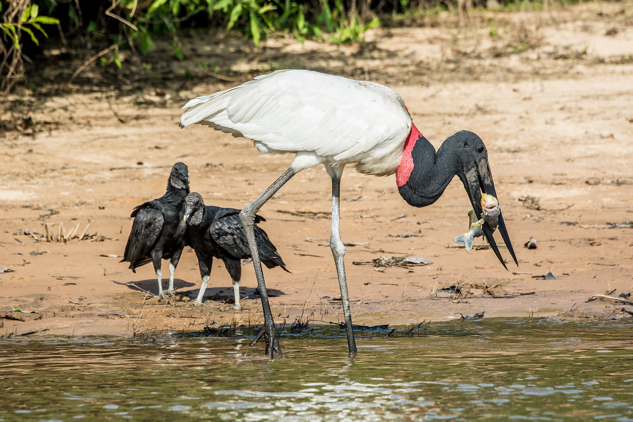 Jabiru Fishing with Vultures Waiting for Leftovers