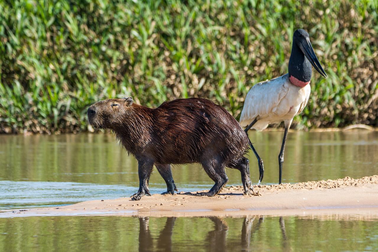 Capybara and Jabiru
