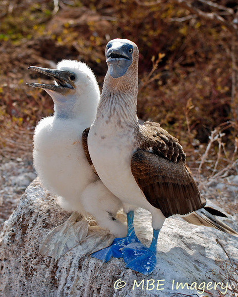 Blue-footed Boobie and Chick