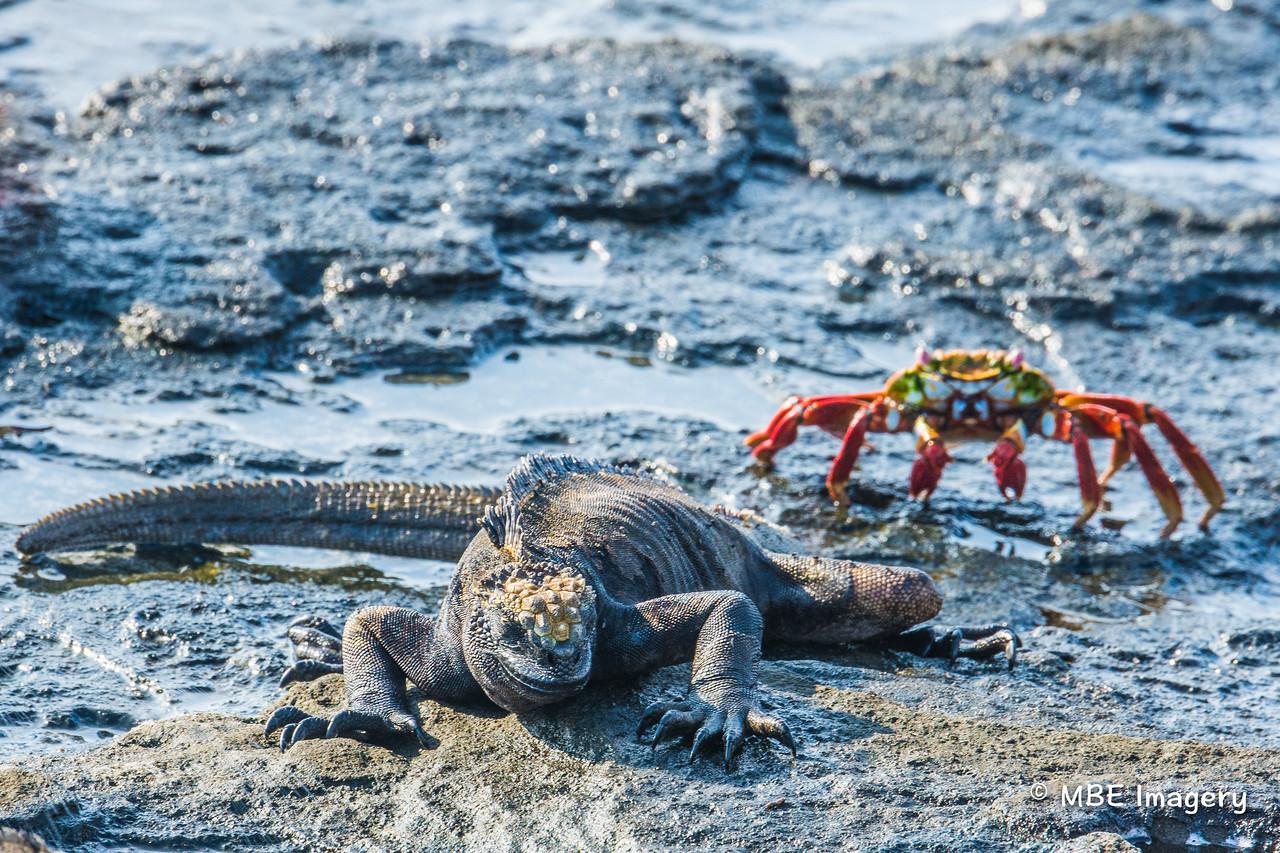 Marine Igauna with Crab