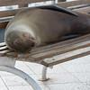Napping Sea Lion