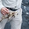 Marine Iguana Skeleton