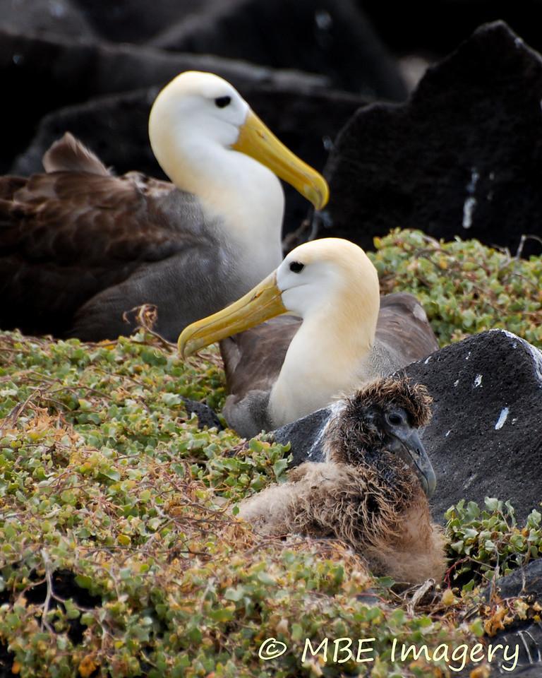 Waved Albatross Family