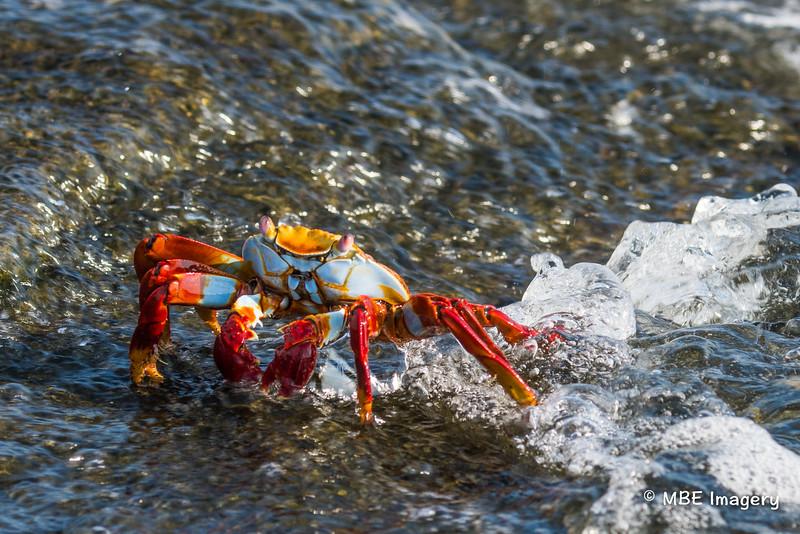 Sally Lightfoot Crab