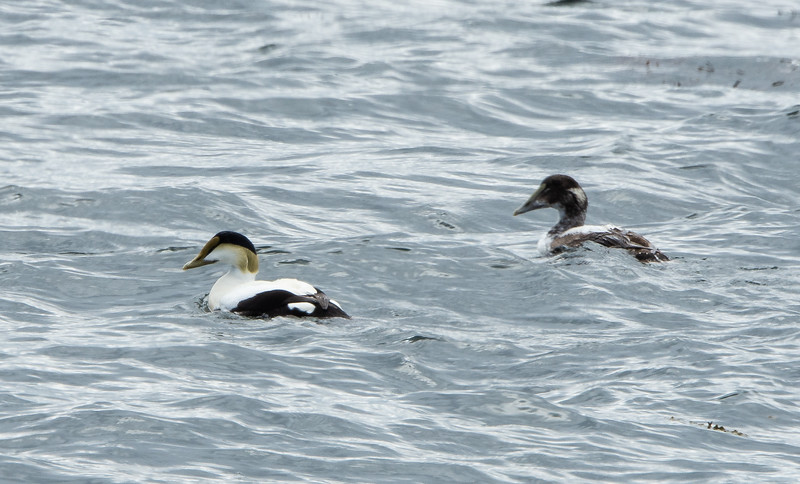 Common Eiders, Male and Female